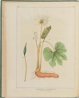 BartonV1_Table 02: Sanguinaria Candadensis (Blood-root. Puccoon.)