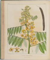 BartonV1_Table 12: Cassia Marilandica. (American Senna.)