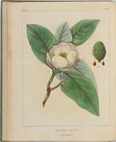 BartonV1_Table 07: Magnolia Glauca. (Small Magnolia)