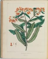 BartonV1_Table 22: Asclepias Tuberosa. (Butterfly-weed)