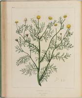 BartonV1_Table 14: Anthemis Cotula (Wild Cammomile.) (May-weed.)
