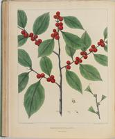 BartonV1_Table 17: Prinos Verticillatus. (Winter-berry.)