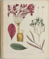 BartonV1_Table 18: Euphorbia Ipecaucuanha. (American Ipecacuanha.)