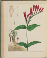 BartonV2_Table 7: Spigelia Marilandica. (Carolina Pink-root.)