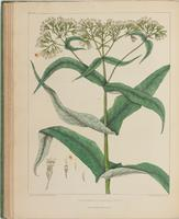 BartonV2_Table 13: Eupatorium Perfoliatum. (Bone-set.Thorough wort.)