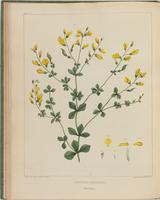 BartonV2_Table 5: Baptisia Tinctoria. (Wild Indigo.)