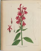BartonV2_Table 19: Lobelia Cardinalis. (Cardinal Plant.)