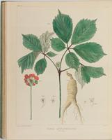BartonV2_Table 21: Panax Quinquefolium. (Ginseng.)