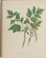 BartonV2_Table 22: Zanthorhiza Apholia (Parsley-leaved Yellow-Root or Yellow-Wort)