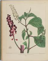 BartonV2_Table 24: Phytolacca Decandra. (Poke.)