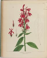 BartonV2_Table 19: Lobella Cardinalis. (Cardinal Plant.)