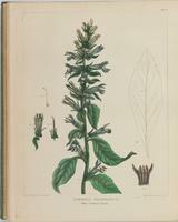 BartonV2_Table 23: Lobelia Siphylitica (Blue Cardinal Plant.)