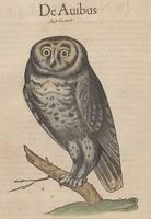 Gessner's Owl