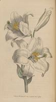 Curtis' White Lily