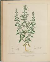 BartonV2_Table 17: Hedeoma Pulegiodes (Pennyroyal)