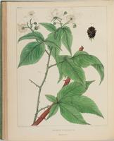 BartonV2_Table 15: Rubus Villosus. (Blackberry.)